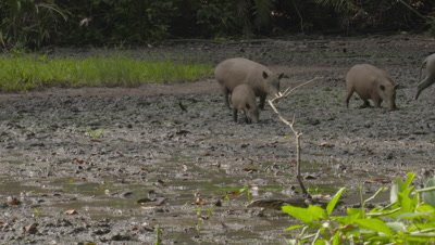 Small family/herd of Babirusa foraging at Adudu salt lick in Nantu forest; Water Monitor Lizard walks by in the foreground