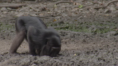 Primate (possibly Black Macaques or Heck's Macaque) drinking and eating at salt lick in forest