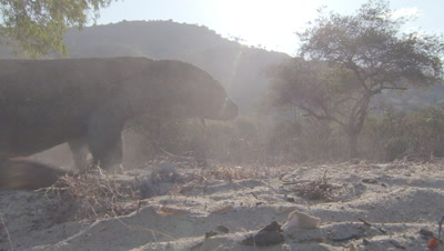 Komodo dragon moves through dusty/sandy dry coastal forest landscape; Jurassic hills in background