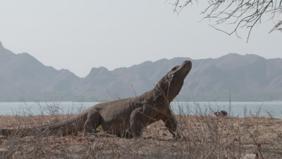 Komodo dragons briefly fight in dry grassland near island shoreline; view of island and sea in background