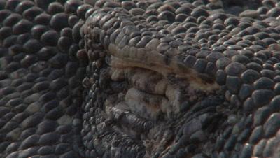 Komodo dragon laying down in dry rocky landscape