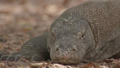 Komodo dragon resting on dry forest floor