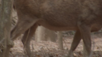 Deer moving through dry forest, occassionally stopping to graze and preen. Reveal of komodo dragon on forest floor.