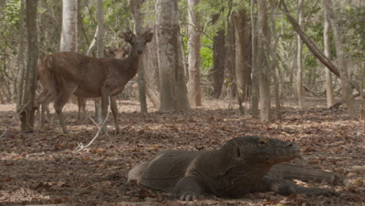 Komodo dragon rests on dry forest floor with Deer feeding and foraging in the background