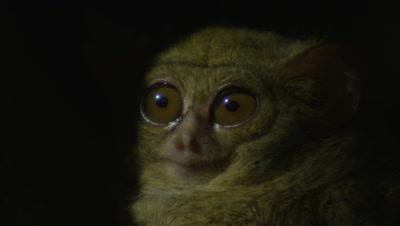 Spectral tarsier resting in Strangler Fig tree