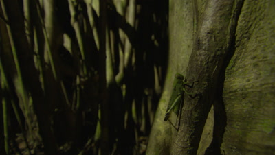 Spectral tarsier captures insect climbing a branch in a Strangler Fig tree, then leaps away