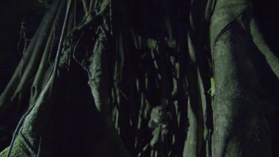 Slow motion shot of Spectral tarsier capturing an insect on a branch in a Strangler Fig tree roots