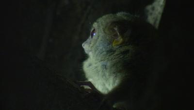 Spectral tarsier resting in Strangler Fig tree roots