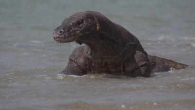 Komodo dragon prowling shoreline on gritty beach, walks through the surf