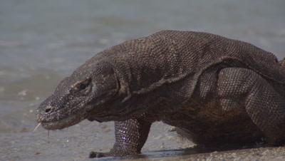 Komodo dragons prowling shoreline on gritty beach; one dragon walks through the surf