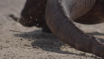 Back view of Komodo dragon prowling shoreline on gritty beach