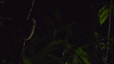 Spectral tarsier clings to branch in Strangler Fig tree, then leaps off camera