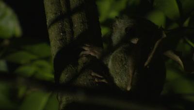 Spectral tarsier clinging to branch in Strangler Fig tree