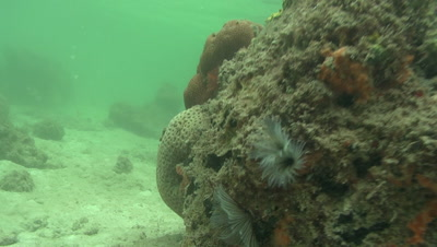 Close up of Feather Duster Worm swaying with the current and hiding in its tube