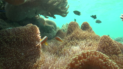 Orange Skunk Clownfish rub against the tentacles of an anemone in coral garden