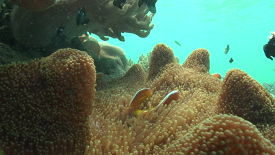 Orange Skunk Clownfish rub against the tentacles of an anemone in coral garden; other fish swim in background