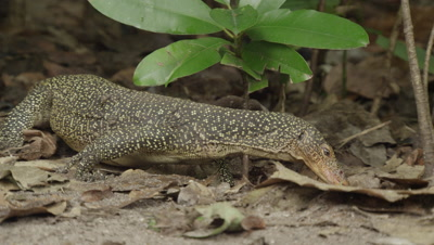 Water monitor lizard searches for food amongst dead leaves; feeds on pieces of an old carcass