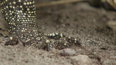 Close up of Water monitor lizard feet/claws as it searches for food amongst dead leaves