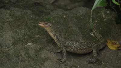 Water monitor lizards feed on on pieces of an old carcass