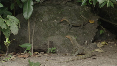 Water monitor lizards fight over pieces of an old carcass