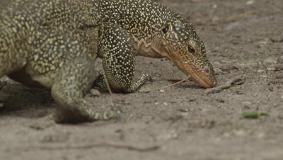 Water monitor lizard searches for food amongst dead leaves