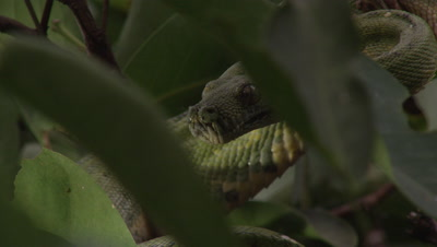 Snake, possibly Green tree python, climbing a citrus tree