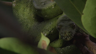 Snake, possibly Green tree python, resting in citrus tree
