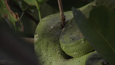 View of snake's coils, possibly Green tree python, as it rests in citrus tree