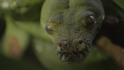Close up of snake's face, possibly Green tree python, as it rests in citrus tree