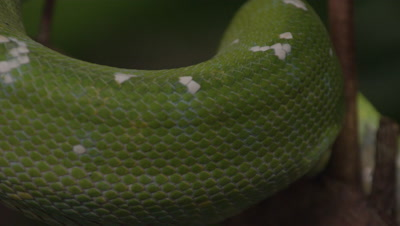 Close up of snake's coils, possibly Green tree python, as it climbs a citrus tree