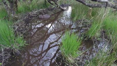 Beaver swims in a stream