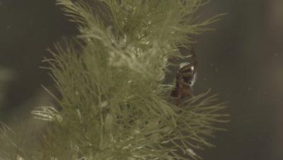 Diving Bell Spider moving around underwater (filmed in tank)