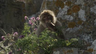 Barbary Macaque feeds on a cliff amongst flowers & other vegatation