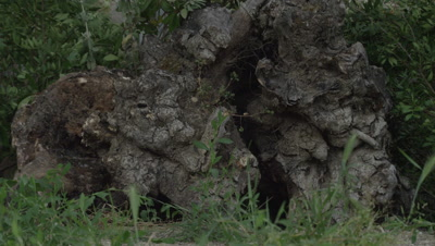 Egyptian Mongoose scurries past burrow entrance