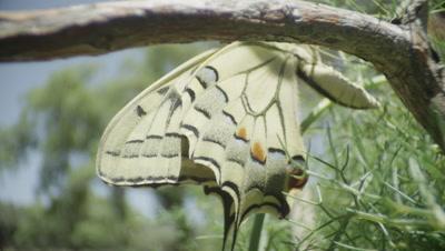 Swallowtail butterfly climbing a bush