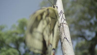 Swallowtail butterfly opens wings
