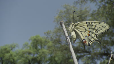 Swallowtail butterfly resting on branch