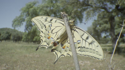 Swallowtail butterfly resting on branch and flaps wings