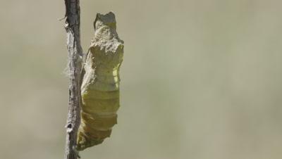 Swallowtail butterfly chrysalis during metamorphasis
