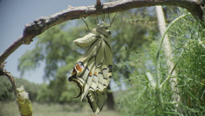 Swallowtail butterfly stretches its wings after emerging from chrysalis