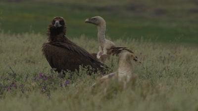 Griffon, Egyptian and Eurasian Black Vultures gathered near sheep carcass