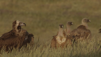 Storks and Vultures (Griffon and Egyptian) gathered near sheep carcass
