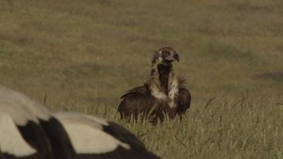 Storks and Vultures (Eurasian Black and Egyptian) feeding on sheep carcass