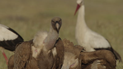 Storks and Vultures (Griffon and Egyptian) feed on sheep carcass