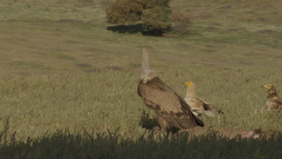 Storks and Vultures (Eurasian Black, Griffon, and Egyptian) gathered near sheep carcass