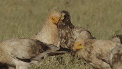 Storks and Egyptian Vultures feeding on sheep carcass