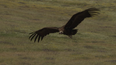 Eurasian Black Vulture in flight over meadow; lands near Storks and Egyptian Vultures