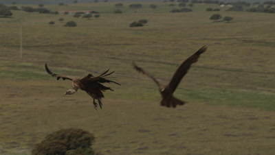 Griffon Vulture in flight lands near Storks and other Vultures (Eurasian Black and Egyptian) feeding on sheep carcass