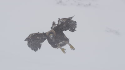 Golden Eagle glides on an air current, then flies towards camera for a landing