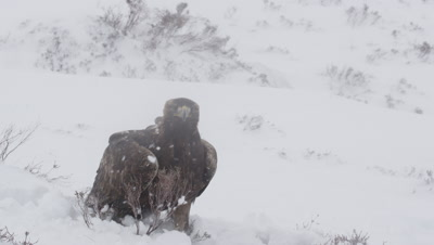 Golden Eagle takes flight